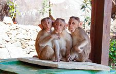 Free 3 Monkeys On Brown Wooden Palette Royalty Free Stock Images - 83012599