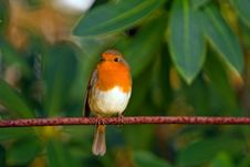 Free Orange White Brown Bird On Top Of Red Branch Stock Images - 83012684