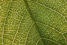 Free Green Leaf Royalty Free Stock Photo - 83012685