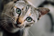Free Portrait Of A Tabby Cat Stock Photography - 83012702