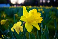 Free Field Of Daffodils Royalty Free Stock Images - 83012829