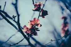 Free Apple Blossom Flowers Royalty Free Stock Photography - 83012837