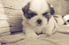 Free White And Black Fur Puppy On Gray Blanket Stock Image - 83012861