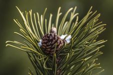 Free Pine Needles  Stock Images - 83012984