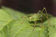 Free Green Grasshopper On Green Leaf Stock Photography - 83013012
