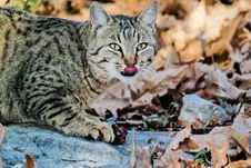 Free Black And White Tabby Cat On White Stone Stock Photography - 83013132