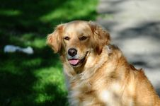 Free Golden Labrador Retriever Dog Stock Images - 83013364