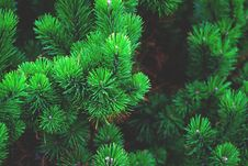 Free Close Up Of Pine Branches Royalty Free Stock Photos - 83013538