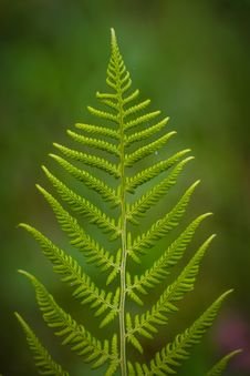 Free Close Up Photography Of Fern Plant Royalty Free Stock Photos - 83013658