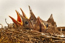 Free Baby Birds In Nest Royalty Free Stock Photo - 83014015
