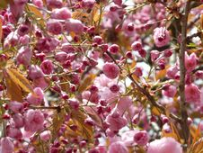 Free Pink Blooms On Branches Stock Photos - 83014193