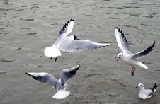 Free Seagulls Over Water Stock Photos - 83014213