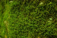 Free Green Moss Close Up Royalty Free Stock Images - 83014259