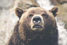 Free Brown Bear Portrait Royalty Free Stock Photos - 83014428