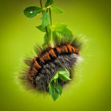 Free Hairy Black And Brown Caterpillar Royalty Free Stock Images - 83014789
