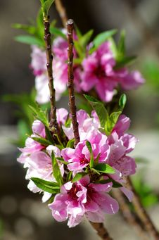 Free Pink Blossoms Royalty Free Stock Image - 83014906