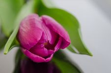 Free Purple Tulip Bud Stock Photography - 83014932