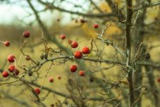 Free Rose Hips Royalty Free Stock Photo - 83015125