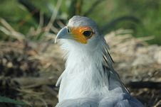 Free Secretary Bird In Nest Royalty Free Stock Photo - 83015135