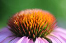 Free Echinacea Flower Royalty Free Stock Photography - 83015317