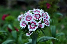 Free Dianthus Barbatus Flower Stock Images - 83015324