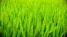 Free Green Wheat Field During Daytime Stock Photo - 83015360