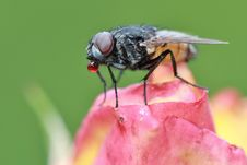 Free Fly On Rose Bud Royalty Free Stock Photography - 83015527