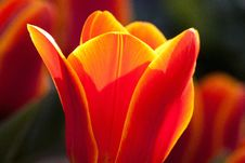 Free Vibrant Orange And Yellow Colored Tulip Royalty Free Stock Photos - 83015538