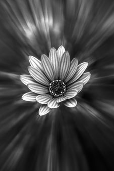 Free Black And White Daisy-like Flower Royalty Free Stock Image - 83015606