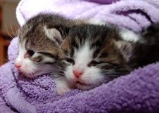 Free Black Brown And White Kittens In Purple Towel Stock Photo - 83016030