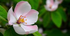 Free Apple Blossom Closeup Royalty Free Stock Photo - 83016155