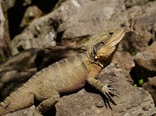 Free Brown Crest Water Dragon, Australia Royalty Free Stock Photos - 83016188