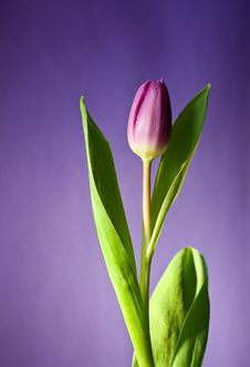 Free Purple Tulip On Mauve Background Royalty Free Stock Photos - 83016888