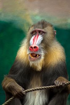 Free Mandrill Stock Images - 83017194