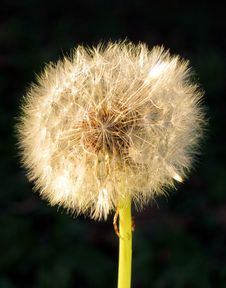 Free Dandelion  Clock  Royalty Free Stock Photo - 83017295