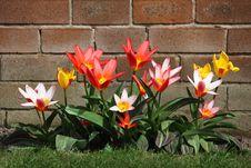 Free Pink Petaled Flower On Bloom Near Brown Bricks Royalty Free Stock Photos - 83017348