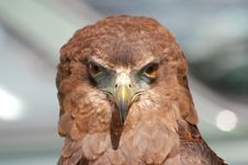 Free Hawk Portrait Royalty Free Stock Photo - 83017625