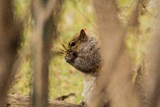 Free Grey Squirrel Eating Nuts Royalty Free Stock Image - 83017796
