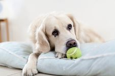 Free Yellow Tennis Ball In Front Of The White Short Coated Dog Stock Photography - 83017862