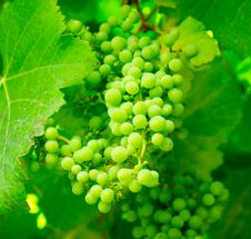 Free Green Grapes On Vine Royalty Free Stock Photo - 83018025