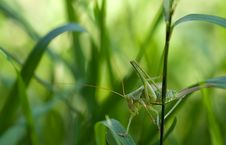 Free Green Grass Hopper On Green Leaf Grass Royalty Free Stock Photography - 83018027