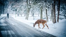 Free Deer On Snowy Forest Road Royalty Free Stock Photos - 83018188
