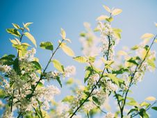Free Flowering Branches Stock Images - 83018304