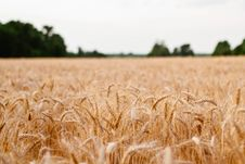 Free Golden Wheat Field Royalty Free Stock Photography - 83018387