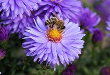 Free Close Up Photo Of Bee On Top Of Purple Flower Stock Photography - 83018412