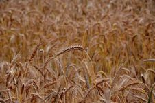Free Golden Wheat In Field Stock Photos - 83018503