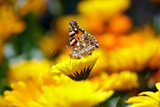 Free Selective Photo Butterfly On Yellow Petaled Flower During Daytime Stock Photo - 83018650
