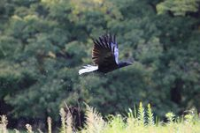 Free Black Bird Flying Near Green Grass During Daytime Royalty Free Stock Images - 83018799
