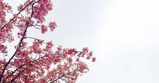 Free Cherry Blossom Tree Royalty Free Stock Image - 83019526