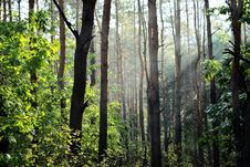 Free Sunbeams In Forest Stock Images - 83019874